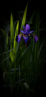 Beautiful Japanese Iris in Lincoln, Nebraska