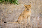 Handsome Lion Cub in South Africa