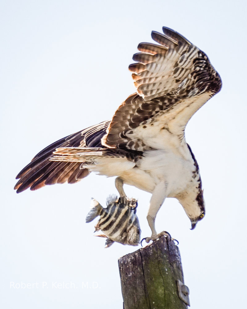 Osprey with  a fish in Southwest Florida