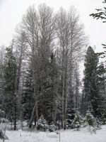 Birch, Snow, winter in Montana