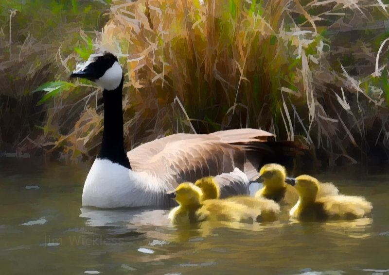 Mother goose and gosling in Lincoln, Nebraska