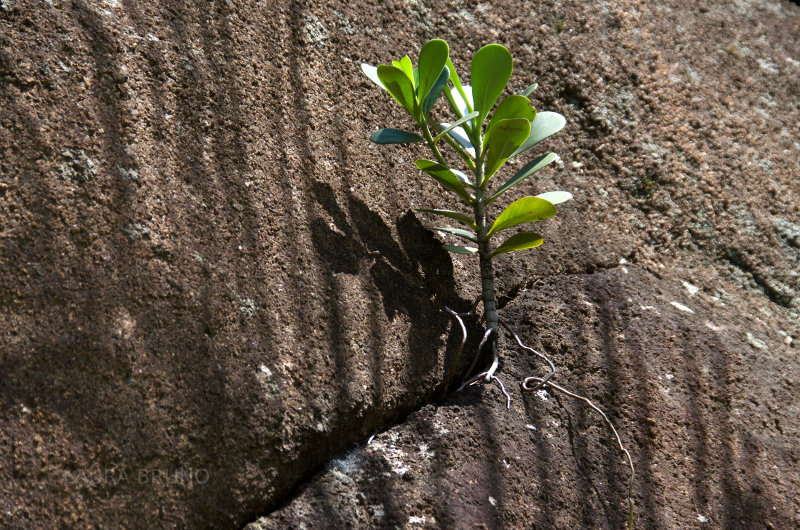 Bush growing out of a crevice in the rock.