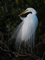 Great Egret in Sarasota, Florida