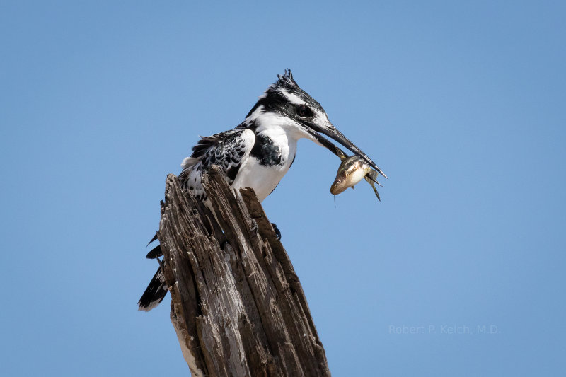 Beautiful Pied Kingfisher in Botswana