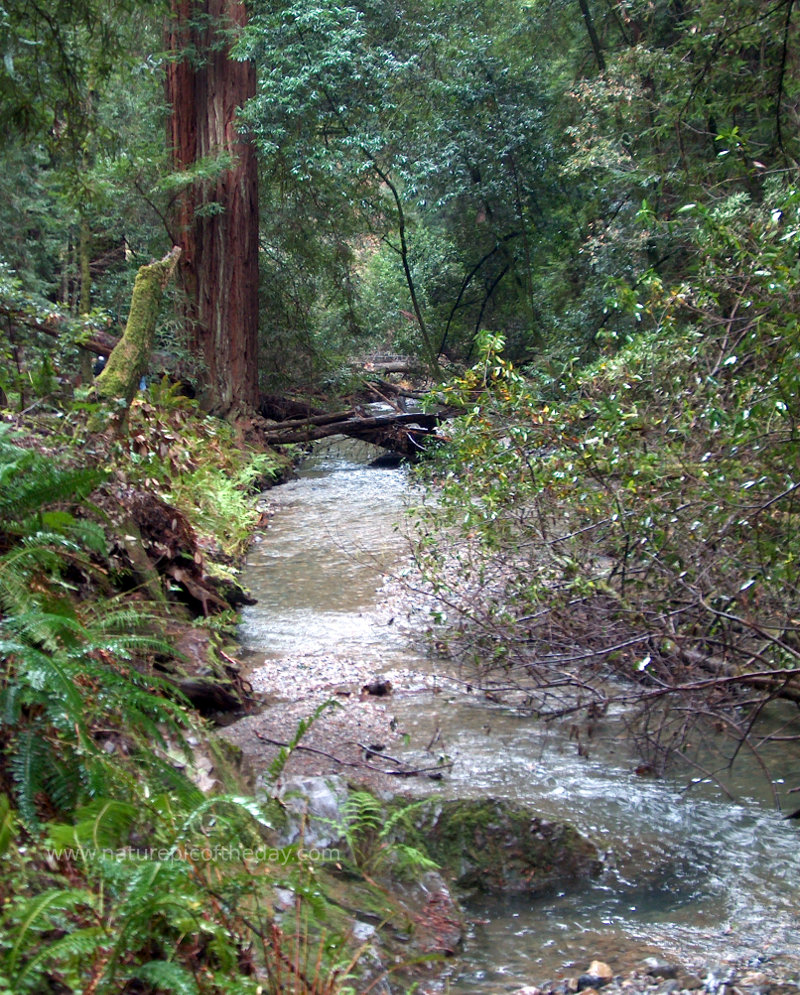 Redwoods in Muir Woods National monument