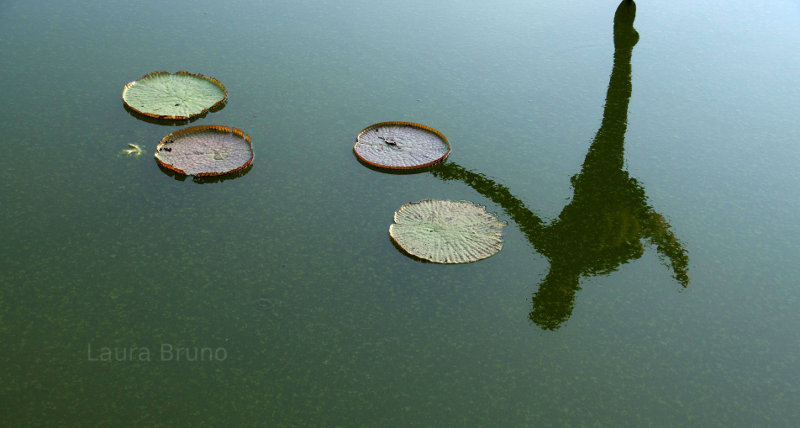 Lily Pads in Brazil
