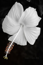 White hibiscus in French Polynesia