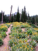 Wildflowers in Lassen Volcanic National Park