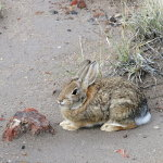 A desert hare in the Arizona desert.