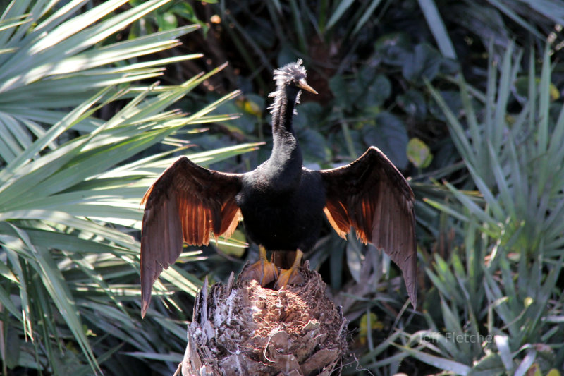 Anhinga in Green Cay Nature Center, Delray FL
