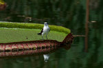 Handsome bird on a thorned lily pad in Brazil.  Is the bird small, or is that a giant lily pad?