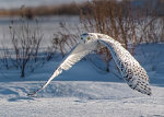 Snowy Owl in Barrie, Ontario, Canada