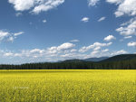 Beautiful yellow fields in Montana