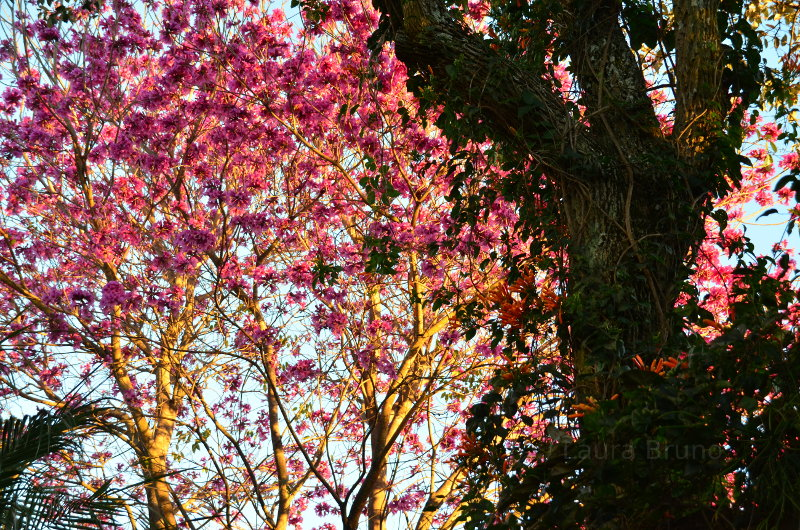 Pretty tree blossoms during Brazilian summer