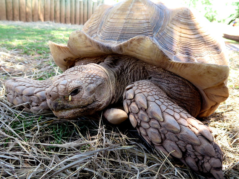 Giant tortoise in South Dakota at the Reptile Gardens