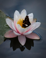 Butterfly in a lily in Lincoln, Nebraska