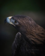 Golden Eagle in Sitka, Alaska