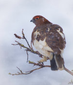 Willow Ptarmigan near Denali, Alaska