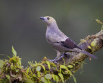 Palm Tanager in Costa Rica