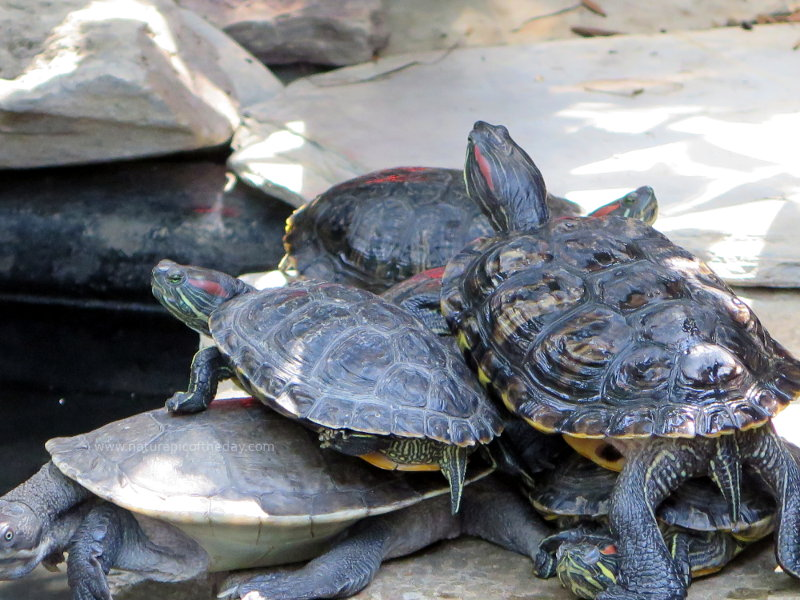 Pile of turtles at the Reptile Gardens in South Dakota