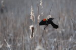 Red Wing Blackbird in Minnesota