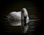 Beautiful swan in Jackson, Wyoming