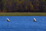 Swans in flight!
