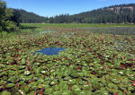Water Lilies spread far and wide at Chatcolet Lake in Idaho