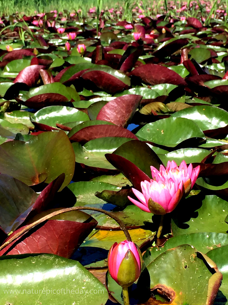 Water Lilies in Idaho