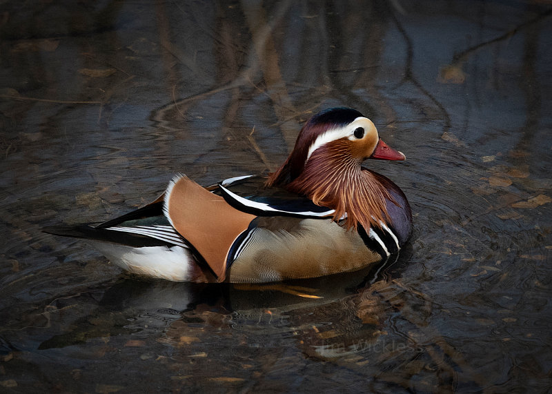 Mandarin Duck in Omaha, Nebraska