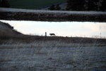 Coyote in Idaho