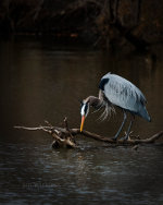 Blue Heron in Lincoln Nebraska