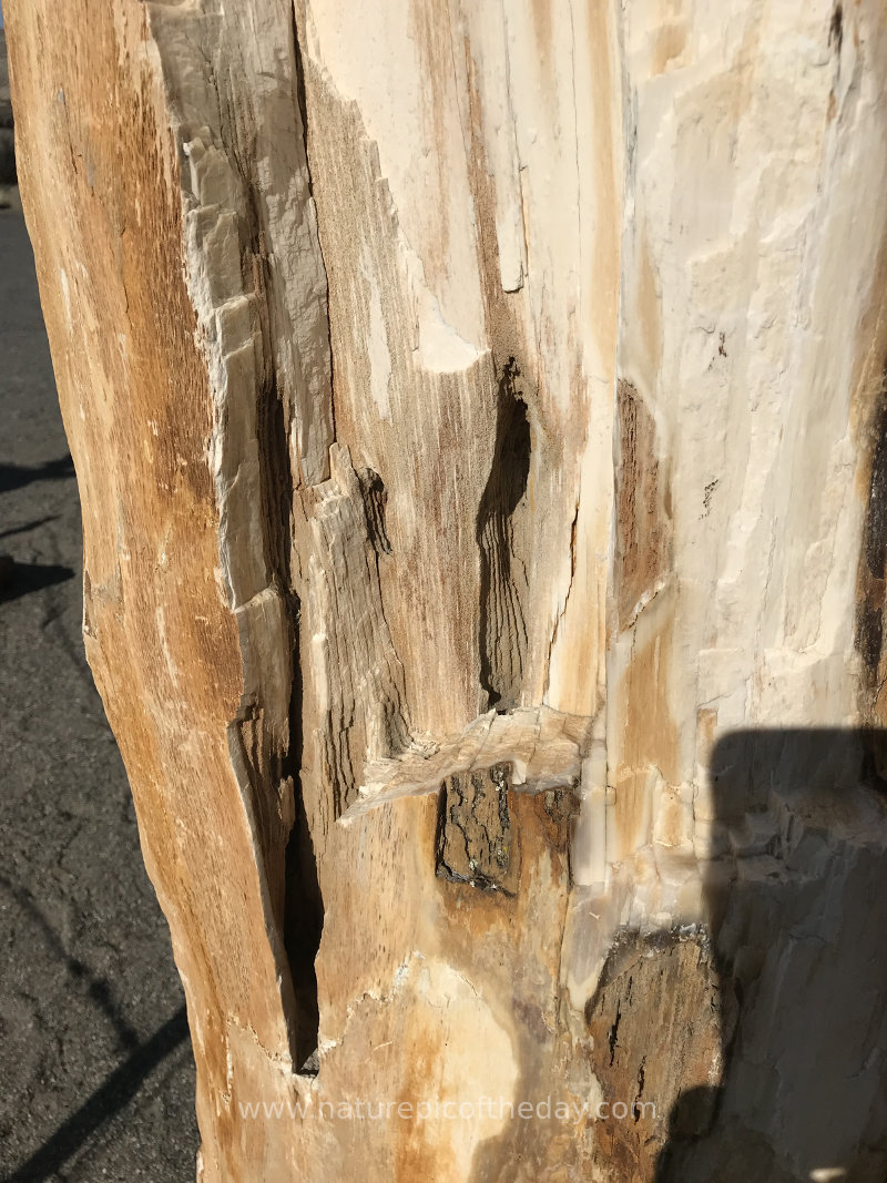 Petrified wood in Washington