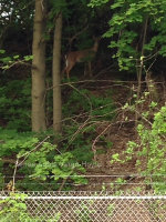Deer in Nazareth, PA