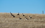 Geese on a hill