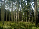 Beautiful grove of Aspen in Ashdown Gorge Wilderness