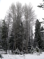 Birch in Montana Winter