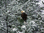 Bald Eagle in Montana