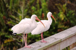 Beautiful White Ibis in Florida