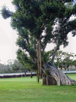 Banyon Tree with visible roots