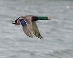 Mallard flying in Lincoln, Nebraska