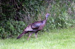 Turkey in Minnesota
