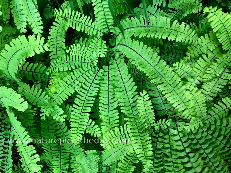 Maidenhair Fern in Quinault Rainforest Olympic National Fire