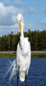 Egret in Florida