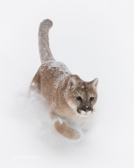 Mountain Lion charges through the snow near Kalispell, Montana