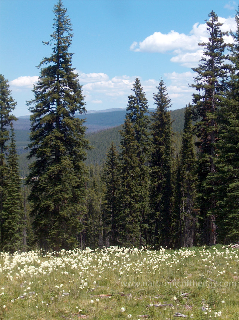 Bear Grass on Lolo Pass