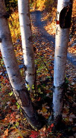 A family of Aspen in Whitefish, Montana