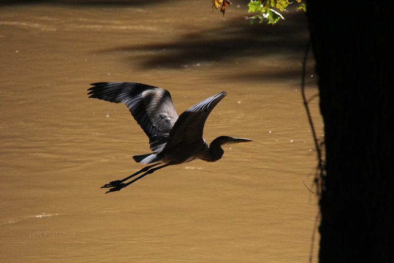 Heron on the move