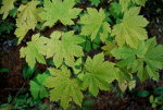 Leaves in Mount Rainier