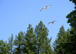 Seagulls in Idaho